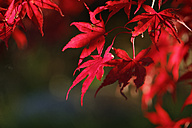 Red autumn leaves of an ornamental maple tree - SIEF006520