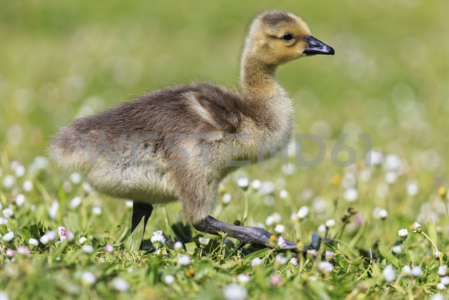 USA, Oregon, young Canada goose standing on flower meadow - FOF007819 - Fotofeeling/Westend61