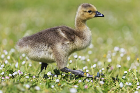 USA, Oregon, young Canada goose standing on flower meadow - FOF007819