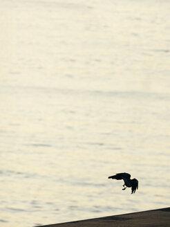 Germany, Hamburg, raven flying at River Elbe - KRPF001390