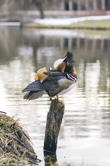 Mandarin duck sitting on wooden pole - ASCF000056