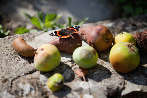 Red Admiral on rotten fruits - LSF000029