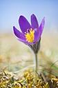 Common pasque flower, Pulsatilla, flowering - ELF001487