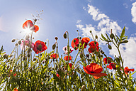 Germany, red poppies against the sun - WDF003043