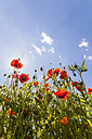 Germany, red poppies against the sun - WDF003042