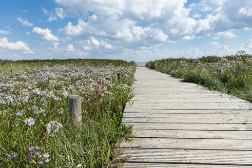 Germany, Schleswig-Holstein, Sylt, Kampen, wooden boardwalk and sea aster - KEBF000107