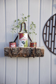 Upcycled tin cans used as nursery pots for lentils - GISF000072