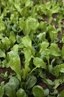 Fresh green salad growing in vegetable garden - LSF000035