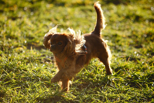 Cavalier King Charles Spaniel running on a meadow - HTF000689