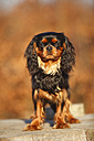 Portrait of Cavalier King Charles Spaniel - HTF000692