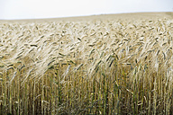 Germany, Lower Saxony, view to rivet wheat field - SEF000897