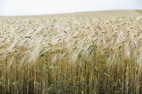 Germany, Lower Saxony, view to rivet wheat field - SEF000897