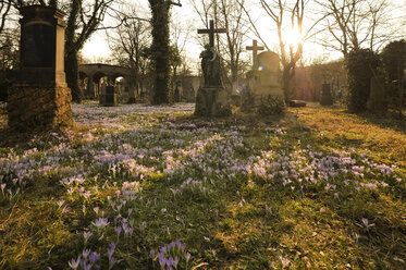 Germany, Munich, grave yard with blossoming crocus - FC000644