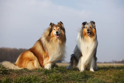 Portrait of two Rough Collies sitting on a meadow - HTF000708