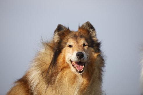Portrait of Rough Collie - HTF000709