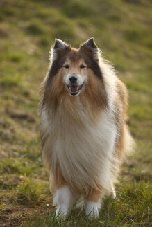 Portrait of Rough Collie on a meadow - HTF000713