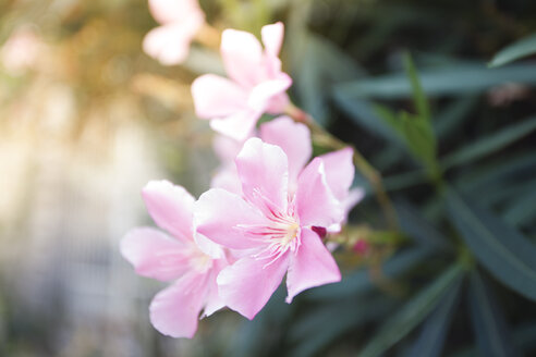 Blossoming oleander - ANHF000008
