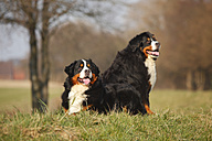 Two Bernese cattle dogs - HTF000717