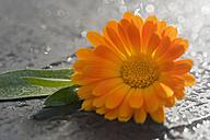 Pot Marigold, Calendula officinalis - CRF002670