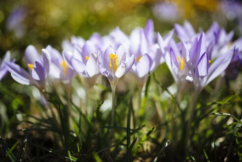 Purple Dalmatia crocus on a meadow - ELF001489