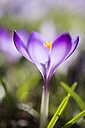 Blossom of purple Dalmatia crocus - ELF001490
