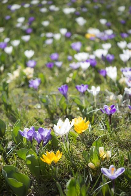 Crocus on a meadow - ELF001492
