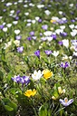 Crocus on a meadow - ELF001492