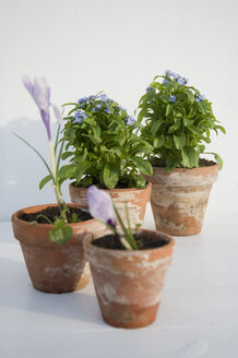 Flower pots of crocus and Forget-me-not - GISF000098