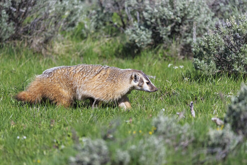 USA, Wyoming, Yellowstone Nationalpark, American badger on a meadow - FOF007938