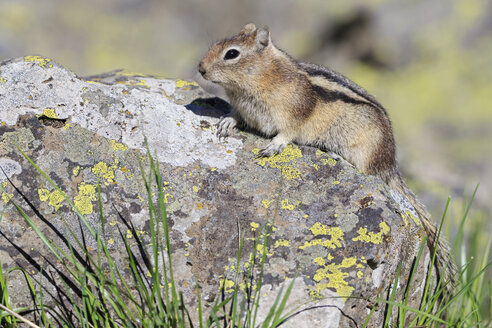 USA, Wyoming, Yellowstone Nationalpark, chipmunk on a rock - FOF007943