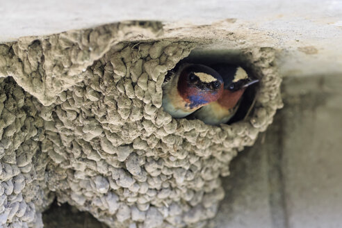 USA, Wyoming, Yellowstone Nationalpark, two American cliff swallows in nest - FOF007945
