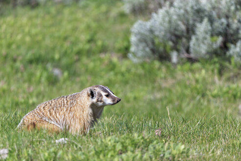 USA, Wyoming, Yellowstone Nationalpark, American badger sitting on a meadow - FOF007947