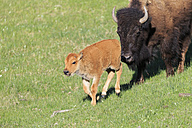 USA, Yellowstone National Park, Bison mother and calf on grassland - FOF008018