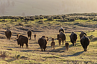 USA, Yellowstone National Park, Herd of buffaloes on grassland - FOF007968