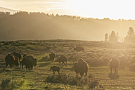 USA, Yellowstone National Park, Herd of buffaloes on grassland - FOF007969