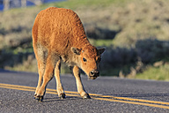 USA, Yellowstone National Park, Bison calf crossing road - FOF008021