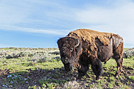 USA, Yellowstone National Park, Buffalo standing on grass - FOF007970