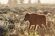 USA, Yellowstone National Park, Bison - FOF008024