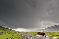 USA, Yellowstone National Park, Bison crossing rainy road - FOF007977