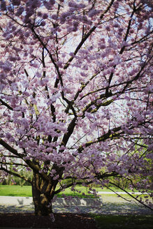 Blossoming Japanese cherry tree in a park - LSF000058