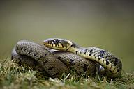 Portrait of grass snake - MJOF000961