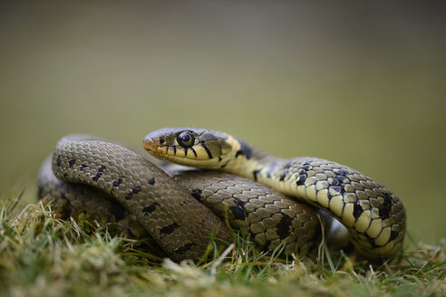 Portrait of grass snake - MJOF000961