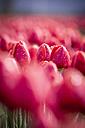 Red tulip field - ASCF000122