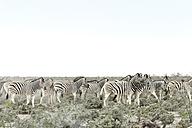 Namibia, Etosha National Park, Burchell's zebras, equus quagga burchellii - CLPF000117