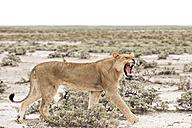 Namibia, Etosha National Park, Hissing young lion - CLPF000118