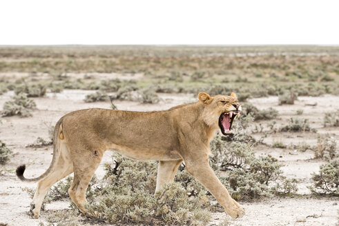 Namibia, Etosha National Park, Hissing young lion - CLPF000118