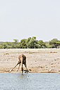 Namibia, Etosha National Park, Giraffe drinking at waterhole - CLPF000123