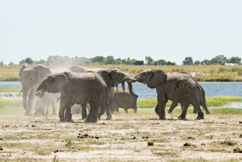 Botswana, Chobe National Park, African elephants at Chobe River - CLPF000129