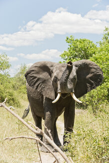 Botswana, Chobe National Park, Arfican elephants standing in bush - CLPF000131