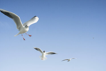 Flying seagulls in front of blue sky - RIBF000009